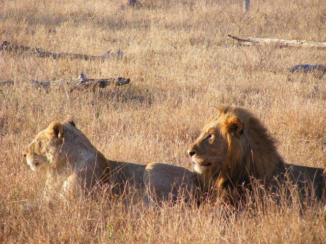 Lion and lioness in Kruger